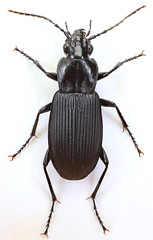 Pterostichus niger, Trawscoed, North Wales, June 2019