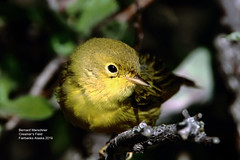 Yellow Warbler_IMG_2158a (bud_marschner) Tags: yellowwarbler creamersfield fairbanksalaska