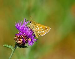 P1950381 - Komma Dickkopffalter-- (Bine&Minka2007) Tags: schmetterlinge falter kommadickkopffalter butterfly insekten insects nature natur makro macro