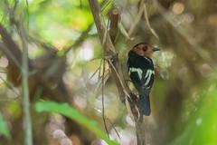 Taeniotriccus andrei - Maria-bonita