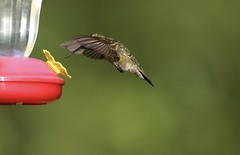 Ready To Dive In (Diane Marshman) Tags: adult male mature rubythroated hummingbird ruby throated small bird inflight motion action movement green upper back head dark wings long black beak tail feathers summer pa pennsylvania nature wildlife red yellow feeder