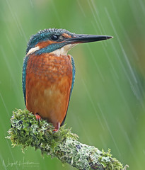 Kingfisher (Nigel Hodson) Tags: canon 1dxmkii 600mmf4ii kingfisher kingfishers birds birdphotography bird wildlife wildlifephotography nature naturephotography