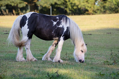 Ol' blue eyes (Mibby23) Tags: shire horse centre west runton norfolk animal equine nature canon 5dmk4 sigma 150600mm contemporary