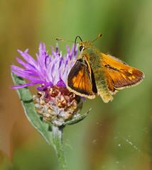 P1950395-Komma Dickkopffalter-Oberseite (Bine&Minka2007) Tags: schmetterlinge falter kommadickkopffalter butterfly insekten insects nature natur makro macro