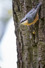 Eurasian Nuthatch (The Wasp Factory) Tags: eurasiannuthatch nuthatch woodnuthatch kleiber sittaeuropaea fringereffxpro fringer fujifilmxt2 canon ef 500mm f4l is