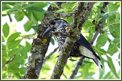 Casse-noix moucheté 190809-01-P (paul.vetter) Tags: oiseau ornithologie ornithology faune animal bird cassenoixmoucheté corvidé nucifragacaryocatactes spottednutcracker cascanuecescomún quebranozes tannenhäher