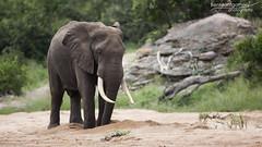 African Elephant - Kruger National Park (BenSMontgomery) Tags: african elephant kruger national park old dig water south africa lower sabie tusk ellie