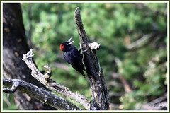 Pic noir 190809-01-P (paul.vetter) Tags: oiseau ornithologie ornithology faune animal bird picnoir dryocopusmartius blackwoodpecker picamaderosnegro schwarzspecht picidés
