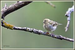 Serin cini juvénile 190809-01-P (paul.vetter) Tags: oiseau ornithologie ornithology faune animal bird serincini europeanserin serínverdecillo milheirinha girlitz serinusserinus