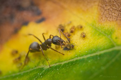 Formica cinerea tending aphids (Michal Kukla) Tags: macro macrophotography nikon d7100 yongnuo tamron ant ants formicidae formica cinerea entomology myrmecology insect insects aphids wild wildlife colors nature
