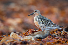 Red Knot (Osprey-Ian) Tags: redknot iceland