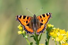 Tortoiseshell on Ragwort (H.G.R) Tags: butterfly gower nationaltrust ragwort rhossili tortoiseshellbutterfly wales swansea unitedkingdom