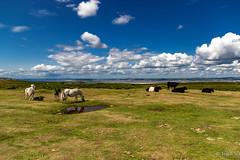 Ponies on Cefn Bryn (H.G.R) Tags: cefnbryn gower swansea wales unitedkingdom
