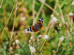 Red Admiral. (dave p brecks) Tags: butterflies redadmiral panasonicdmcg80 olympus60mmmacro