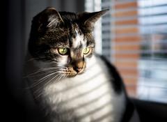 Cat in window (B Hutchison) Tags: xt1 fuji fujifilm xf35mm cat window light stripes shadows lines sunset glow