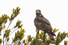 Cuban Black Hawk