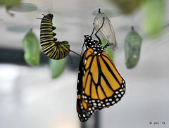 First Monarch Butterfly Today (smiles7) Tags: monarch butterfly