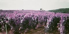 Phare de Verzenay (stéphanehébert) Tags: yashica t5 lomography verzenay phare purple champagne