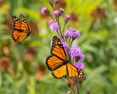 Who's On First... (ragtops2000) Tags: butterfly monarch male female flight wings exciting colorful nature wild flowers summer stop fluttering
