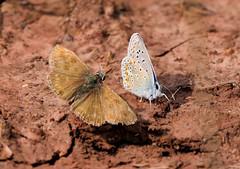 Dunkler Dickkopffalter und Hauhechel Bläuling (Bine&Minka2007) Tags: schmetterlinge butterfly falter insekten insects natur nahaufnahme macro makro christal closeup dunklerdickkopffalter hauhechelbläuling