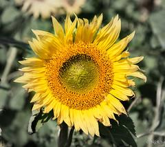 Sunflower (H.G.R) Tags: gower nationaltrust rhossili sunflower swansea wales unitedkingdom