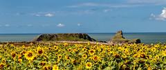 Sunflowers and Worm's Head (H.G.R) Tags: gower nationaltrust rhossili sunflower wales wormshead swansea unitedkingdom