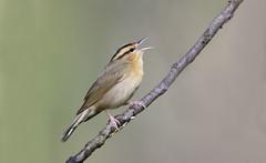 Worm-eating Warbler.Lake hope Ohio. (mandokid1) Tags: canon 1dx ef600mm11 birds warblers