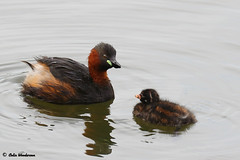 Little Grebe And Chick (raven fandango) Tags: little grebe chick rspb rye meads august 2019 british birds bird birding britain canon countryside centre eos england english 7dmkii 400mm 100400 fowl hertfordshire herts life nature photography photo photos red reserve trust unitedkingdom uk wildbirds wildlife wild wetland young