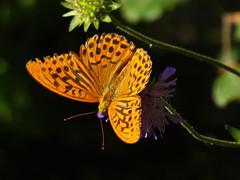 P1170041sh Schmetterling Kaisermantel (wdeck) Tags: kaisermantel schmetterling butterfly argynnispaphia