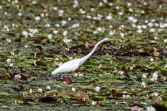 quabbinreservoir2019-210 (gtxjimmy) Tags: nikond7500 nikon d7500 summer newengland quabbinreservoir belchertown ware massachusetts bird greategret egret