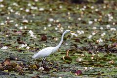 quabbinreservoir2019-208 (gtxjimmy) Tags: nikond7500 nikon d7500 summer newengland quabbinreservoir belchertown ware massachusetts bird greategret egret
