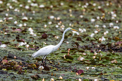 quabbinreservoir2019-207 (gtxjimmy) Tags: nikond7500 nikon d7500 summer newengland quabbinreservoir belchertown ware massachusetts bird greategret egret