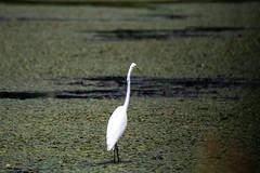 quabbinreservoir2019-199 (gtxjimmy) Tags: nikond7500 nikon d7500 summer newengland quabbinreservoir belchertown ware massachusetts bird greategret egret