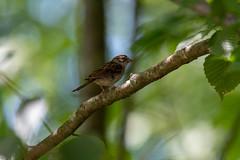 quabbinreservoir2019-193 (gtxjimmy) Tags: nikond7500 nikon d7500 summer newengland quabbinreservoir belchertown ware massachusetts bird