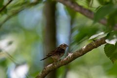 quabbinreservoir2019-192 (gtxjimmy) Tags: nikond7500 nikon d7500 summer newengland quabbinreservoir belchertown ware massachusetts bird