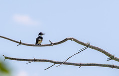 quabbinreservoir2019-184 (gtxjimmy) Tags: nikond7500 nikon d7500 summer newengland quabbinreservoir belchertown ware massachusetts bird beltedkingfisher kingfisher