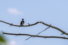 quabbinreservoir2019-183 (gtxjimmy) Tags: nikond7500 nikon d7500 summer newengland quabbinreservoir belchertown ware massachusetts bird beltedkingfisher kingfisher