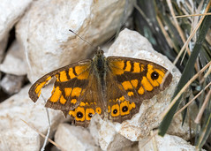 Dover Wall Brown
