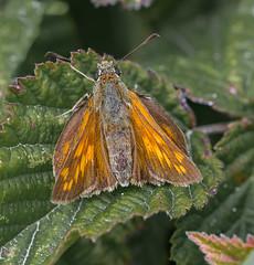 Dover Chalkhill Large Skipper female-