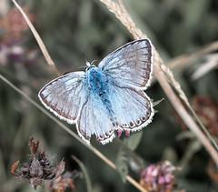 Dover Chalkhill Blue