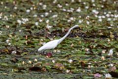 quabbinreservoir2019-209 (gtxjimmy) Tags: nikond7500 nikon d7500 summer newengland quabbinreservoir belchertown ware massachusetts bird greategret egret