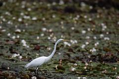 quabbinreservoir2019-206 (gtxjimmy) Tags: nikond7500 nikon d7500 summer newengland quabbinreservoir belchertown ware massachusetts bird greategret egret