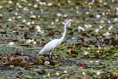 quabbinreservoir2019-204 (gtxjimmy) Tags: nikond7500 nikon d7500 summer newengland quabbinreservoir belchertown ware massachusetts bird greategret egret