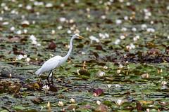 quabbinreservoir2019-203 (gtxjimmy) Tags: nikond7500 nikon d7500 summer newengland quabbinreservoir belchertown ware massachusetts bird greategret egret