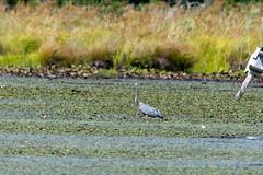 quabbinreservoir2019-202 (gtxjimmy) Tags: nikond7500 nikon d7500 summer newengland quabbinreservoir belchertown ware massachusetts bird greatblueheron heron