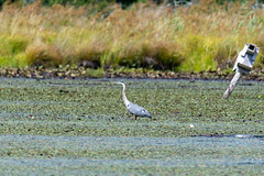 quabbinreservoir2019-201 (gtxjimmy) Tags: nikond7500 nikon d7500 summer newengland quabbinreservoir belchertown ware massachusetts bird greatblueheron heron