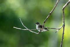 quabbinreservoir2019-191 (gtxjimmy) Tags: nikond7500 nikon d7500 summer newengland quabbinreservoir belchertown ware massachusetts bird