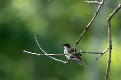 quabbinreservoir2019-190 (gtxjimmy) Tags: nikond7500 nikon d7500 summer newengland quabbinreservoir belchertown ware massachusetts bird