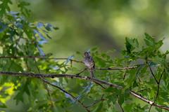 quabbinreservoir2019-189 (gtxjimmy) Tags: nikond7500 nikon d7500 summer newengland quabbinreservoir belchertown ware massachusetts bird