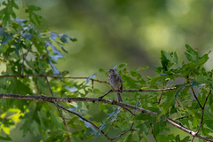 quabbinreservoir2019-188 (gtxjimmy) Tags: nikond7500 nikon d7500 summer newengland quabbinreservoir belchertown ware massachusetts bird